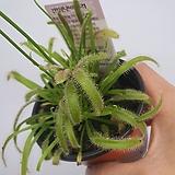 플로스토어 긴잎끈끈이주걱|