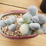 문스톤금|Pachyphytum Oviferum Moon Stone