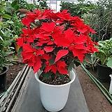 포인세티아/크리스마스꽃/높이72센치|Echeveria Agavoides Christmas