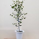 [진아플라워] 사랑스런 하트잎 유칼립투스 폴리안 대형  390|