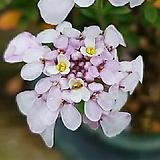 분홍 이메리스 (눈꽃) - 노지월동 가능, 목질화 되는 야생화|