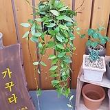 [행잉식물] 호야 메모리아|Echeveria Memory