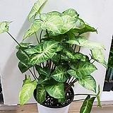 잎이큰싱고니움(15cm분)  |