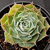 시뮬란스|Echeveria simulans Ascension