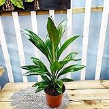 [용플라워] 공기정화식물 드라세나 그라우카(크라우카)|