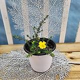 [용플라워] 화사한 노랑꽃 유매|
