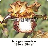 독일붓꽃,아이리스(시바시바),수입구근,목하원예조경 