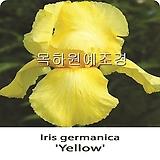 독일붓꽃,아이리스(옐로우),수입구근,목하원예조경 