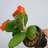플로스토어 단애의여왕 특급|Rechsteineria leucotricha