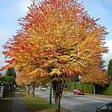 계수나무 H120cm - 실생1년 단풍 조경수 
