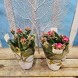 [용플라워] 꽃이 에쁘게 활짝 피는 노블 카랑코에(단품)|Echeveria noble