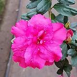잉카철쭉(한목대)/노지월동/꽃대|