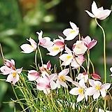 키아네라 알바(핑크)|Echeveria Alba Beauty