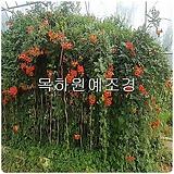 능소화나무(뿌리묘),목하원예조경 