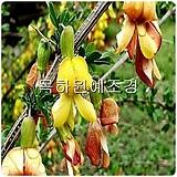 골담초나무(재배묘,1년생특묘),목하원예조경 