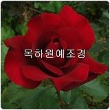 사계고급줄장미,흑장미(오클라호마),개화주 2,3지,목하원예조경 Echeveria Black Rose