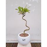 황칠나무 묘목 원형화분 인삼나무 특이식물|