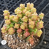 희성|Crassula rupestris TOM THUMB