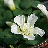 흰겹러플사랑초(푸푸레아) 