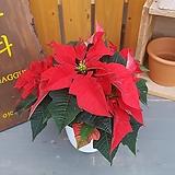 포인세티아 (크리스마스 식물)|Echeveria Agavoides Christmas