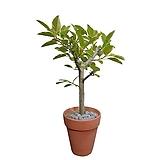 뱅갈고무나무 (토분완성분) 대품 개업선물 축하선물 DLP-260|