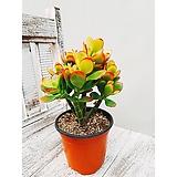 미니 염좌 小 다육 화초 카페식물|