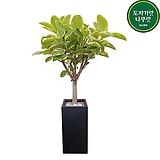 뱅갈고무나무 사각시멘트 개업축하화분선물 침실 안방 거실 DLP-324|