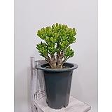 호빗 (염좌) 포트 대품 집안 원룸 인테리어식물 |