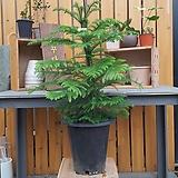 아라우카리아 (크리스마스 식물)|Echeveria Agavoides Christmas