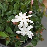 차이니즈자스민 (꽃이 예쁜아이)|
