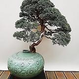 진백 나무 고급분재 (청자주판특대완성분) 나-26 승진축하화분 취미식물|