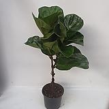 플로스토어 떡갈고무나무 외목대 중대품 특급|