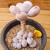 묵은 문스톤|Pachyphytum Oviferum Moon Stone