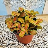 [용플라워] 오렌지스타(피토니아)공기정화식물|