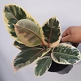 플로스토어 수채화고무나무 중품 특급080|