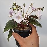 플로스토어 단애의여왕 연보라 075|Rechsteineria leucotricha