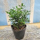 [용플라워] 독특한 잎을 가지고 있는 호랑가시|
