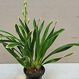 동양란.실키.꽃대1대.동양란,서양란교배종입니다.좋은향.잎풍성.잎무늬.상태굿.인기상품.|