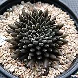 사마로철화|Sinocrassula yunnanensis
