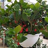 산호수걸이분(열매)  |