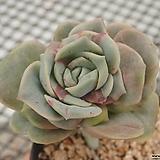 러블리 로즈 금_r87|Echeveria Lovely Rose