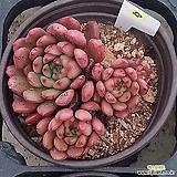 (11月)핑클루비13 Sedeveria pink rubby