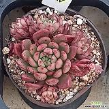 (11月)핑클루비25 Sedeveria pink rubby