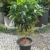 만냥금(포트) 여름식물 농장직영 원룸 현관 카페식물|variegated