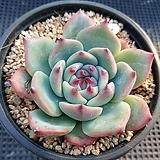 치와와|Echeveria chihuahuaensis
