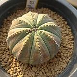 오베사(실생)x27|Euphorbia obesa (Baseball Plant)