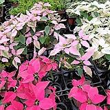 포인세티아 핑크 진핑크 색상랜덤28|