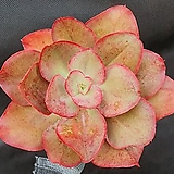 1285. 키싱|Echeveria sp Kissing