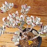 묵은 방울복랑|Cotyledon orbiculata cv