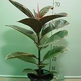 루비고무나무93번-루비색비단결 고운색상이환상-동일품배송|